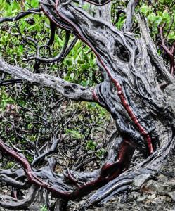 Ancient Manzanita tree (Illinois River Canyon-Kalmiopsis Wilderness Area)