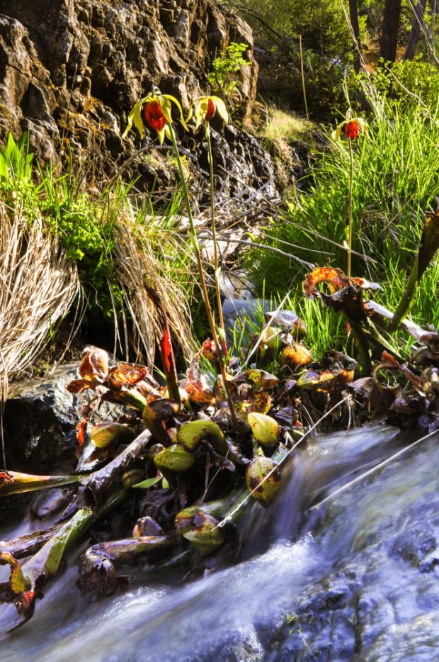 Darlingtonia californica (York Creek Botanical Area-Kalmiopsis Wilderness Area)